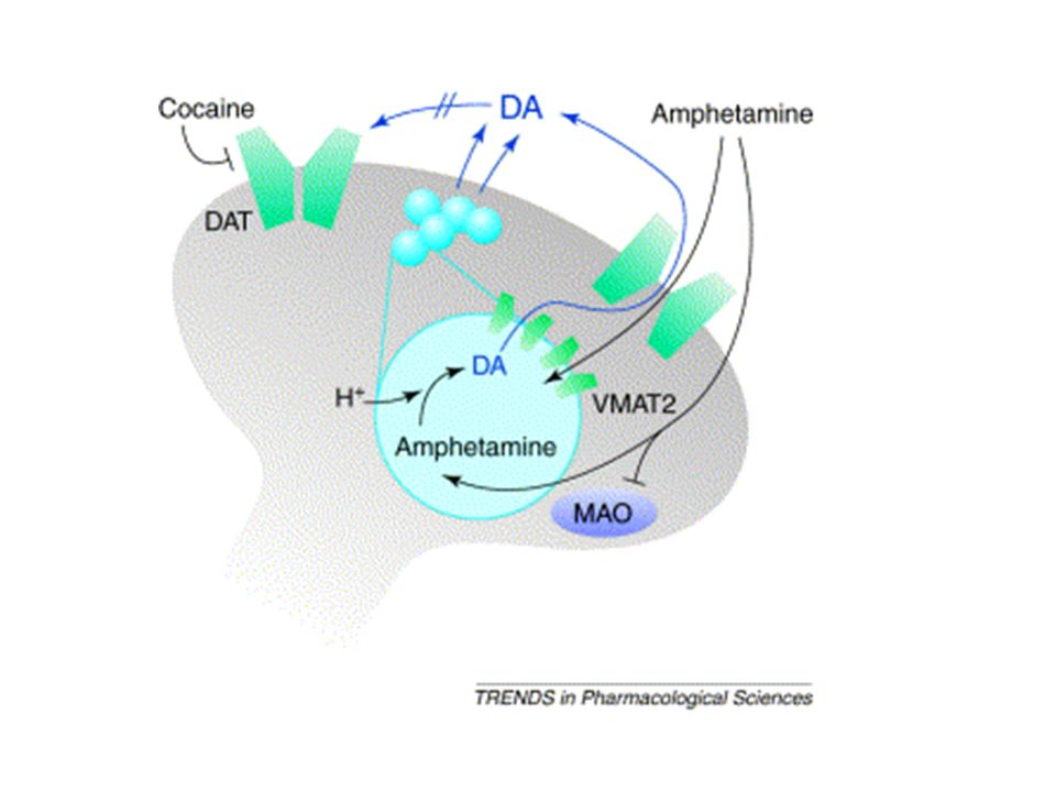 Fig. 1. Model of the actions of cocaine and amphetamine at dopamine (DA)-containing nerve terminals. Cocaine blocks the DA transporter (DAT) and therefore DA released physiologically accumulates extracellularly. Amphetamine activity involves several crucial steps [28, 29 and 30]: entry into the neuron by DAT and diffusion; entry into vesicles via vesicular monoamine transporter 2 (VMAT2) and by diffusion; disruption of the vesicular pH gradient and redistribution of vesicular stores of DA into the cytoplasm; and amphetamine-dependent reversal of DAT, which results in massive outflow of DA to the extracellular space via reverse transport. Additionally, amphetamine inhibits monoamine oxidase (MAO) and so decreases the intracellular metabolism of DA. Although the rate-limiting step in amphetamine activity appears to be the displacement of DA from vesicular stores, DAT is required for the release of DA into the extracellular space [30].